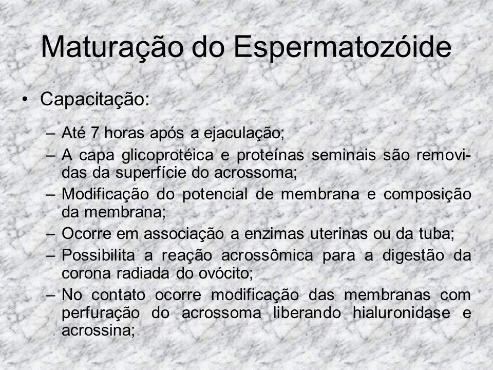 Maturação do Espermatozóide