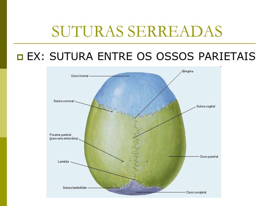 SUTURAS SERREADAS EX: SUTURA ENTRE OS OSSOS PARIETAIS