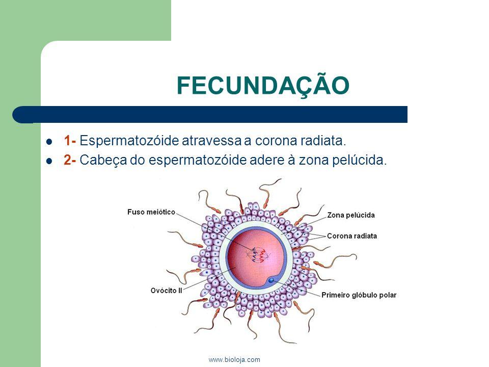 FECUNDAÇÃO 1- Espermatozóide atravessa a corona radiata.