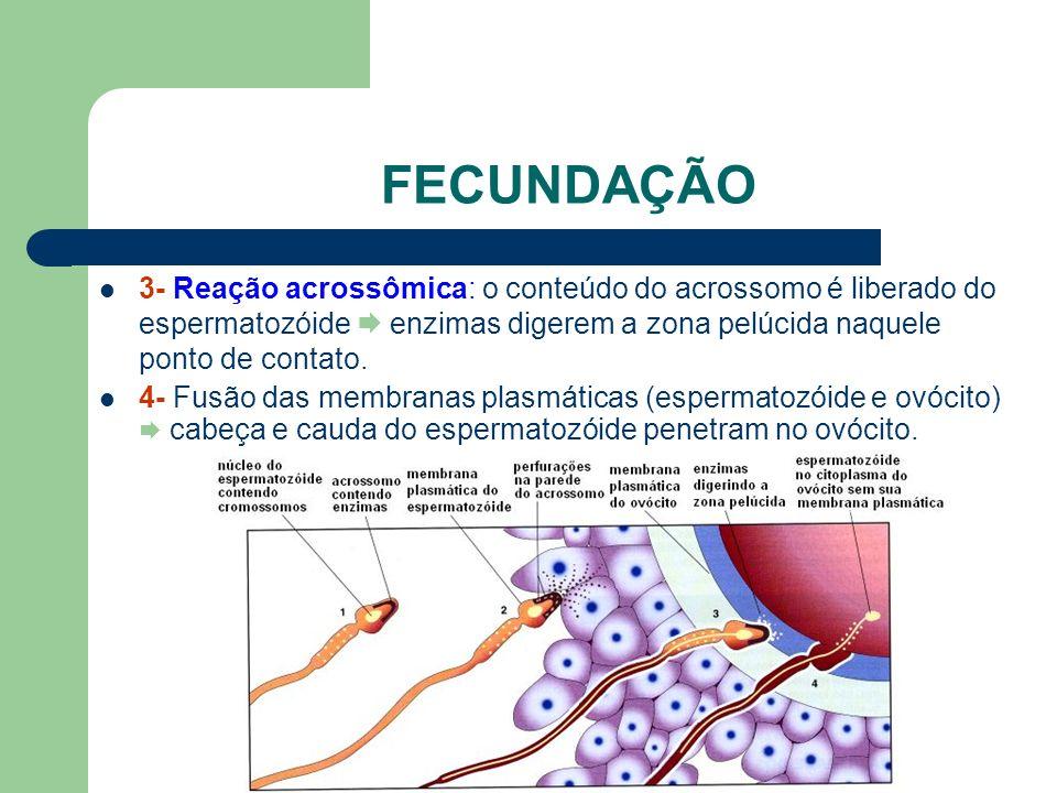 FECUNDAÇÃO 3- Reação acrossômica: o conteúdo do acrossomo é liberado do espermatozóide  enzimas digerem a zona pelúcida naquele ponto de contato.