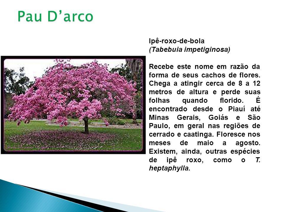 Pau D'arco Ipê-roxo-de-bola (Tabebuia impetiginosa)