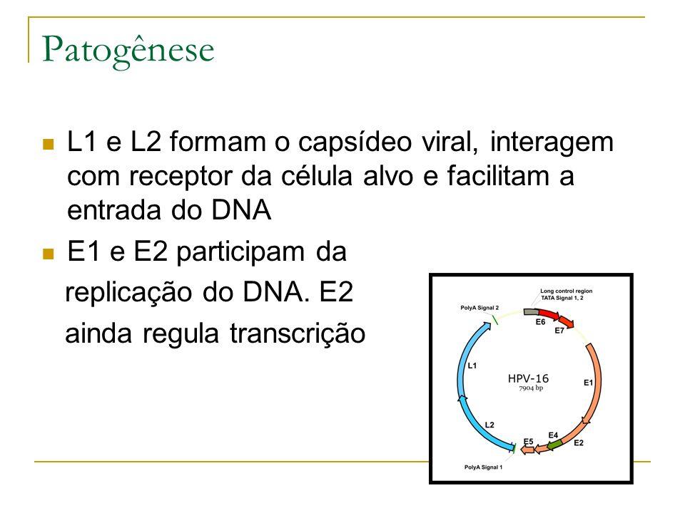 Patogênese L1 e L2 formam o capsídeo viral, interagem com receptor da célula alvo e facilitam a entrada do DNA.
