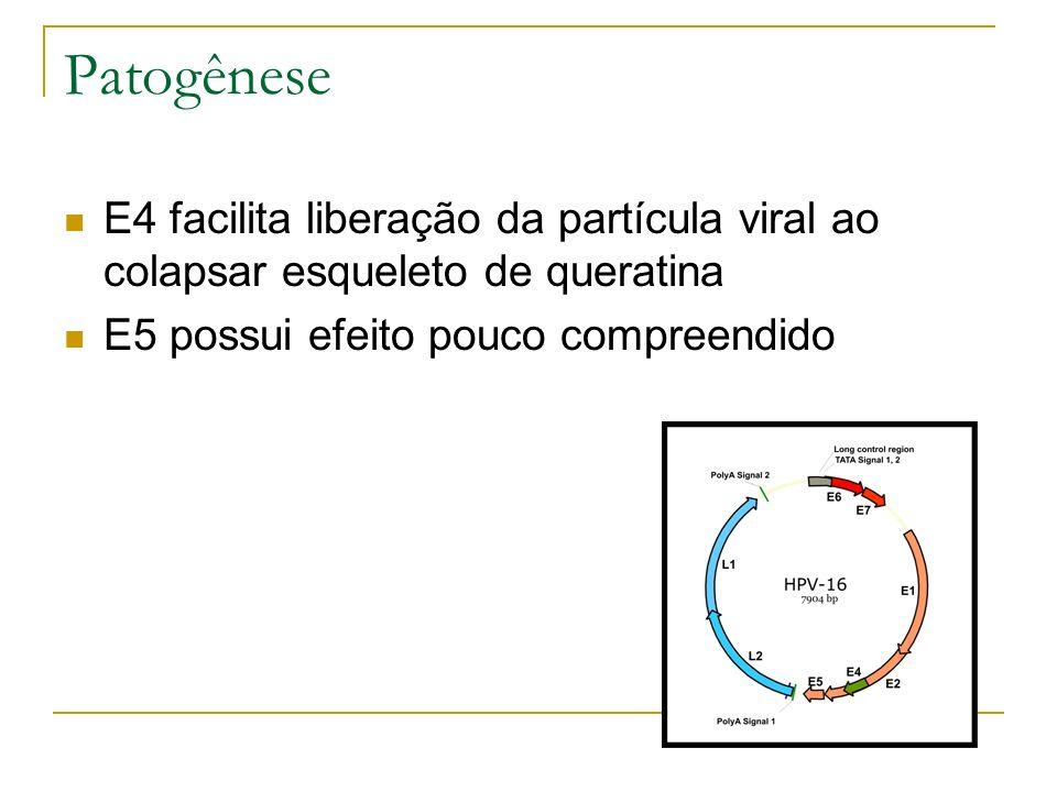 Patogênese E4 facilita liberação da partícula viral ao colapsar esqueleto de queratina.