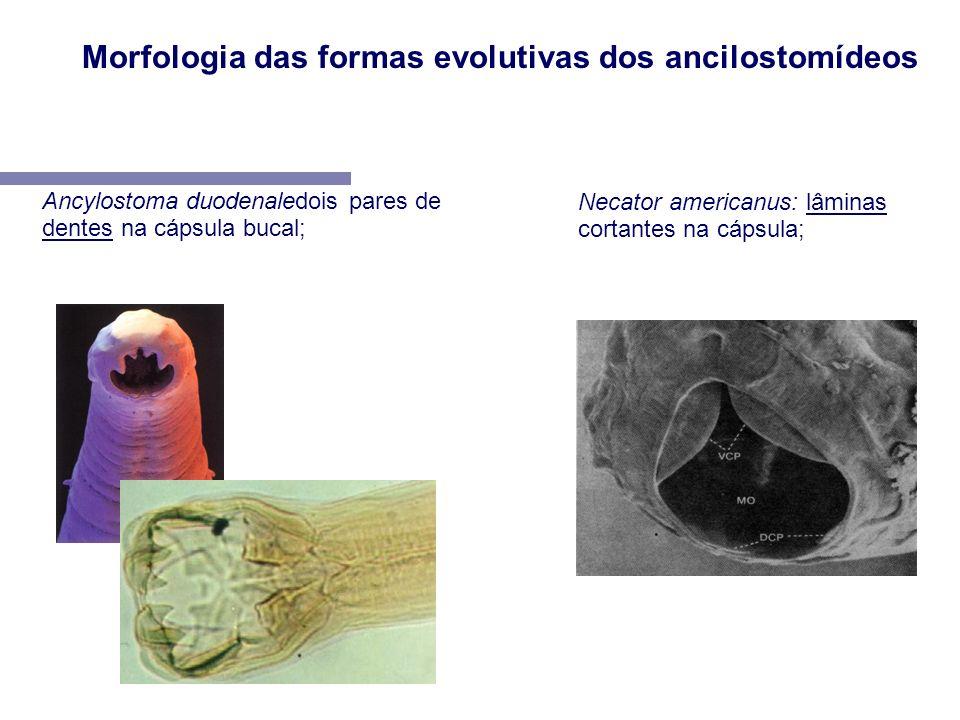 Morfologia das formas evolutivas dos ancilostomídeos