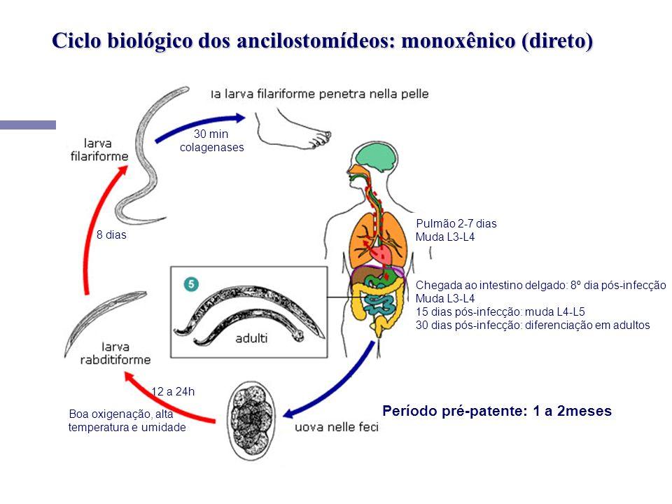 Ciclo biológico dos ancilostomídeos: monoxênico (direto)