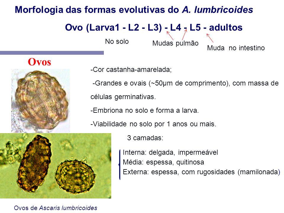 Ovos Morfologia das formas evolutivas do A. lumbricoides