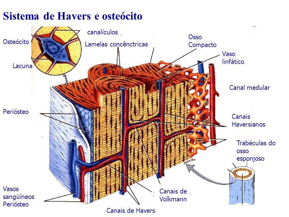 Sistema de Havers e osteócito
