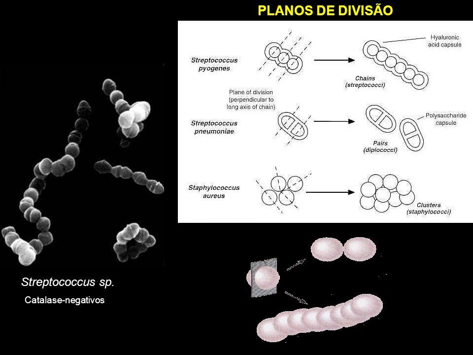 PLANOS DE DIVISÃO Streptococcus sp. Catalase-negativos