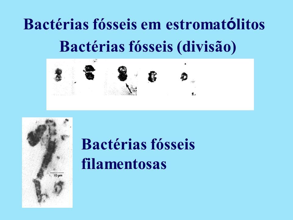 Bactérias fósseis em estromatólitos