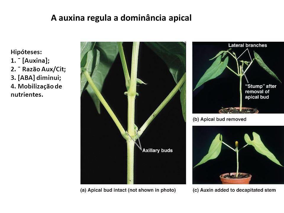 A auxina regula a dominância apical