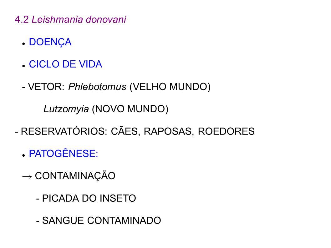 4.2 Leishmania donovaniDOENÇA. CICLO DE VIDA. - VETOR: Phlebotomus (VELHO MUNDO) Lutzomyia (NOVO MUNDO)