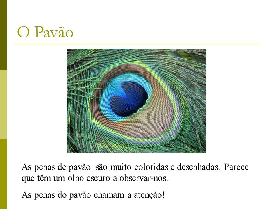 O Pavão As penas de pavão são muito coloridas e desenhadas. Parece que têm um olho escuro a observar-nos.