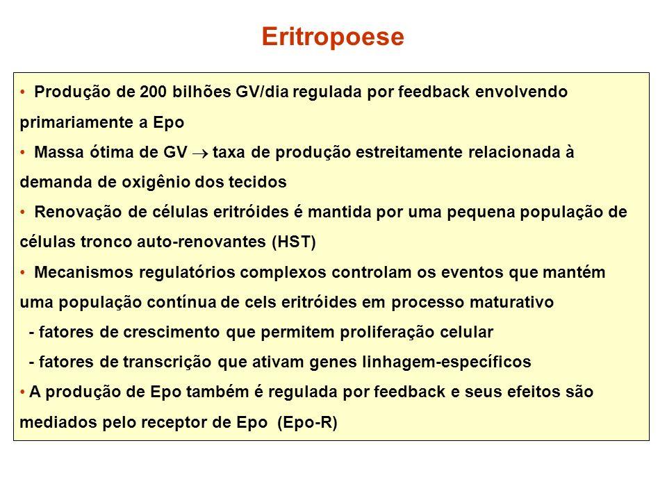 Eritropoese Produção de 200 bilhões GV/dia regulada por feedback envolvendo primariamente a Epo.