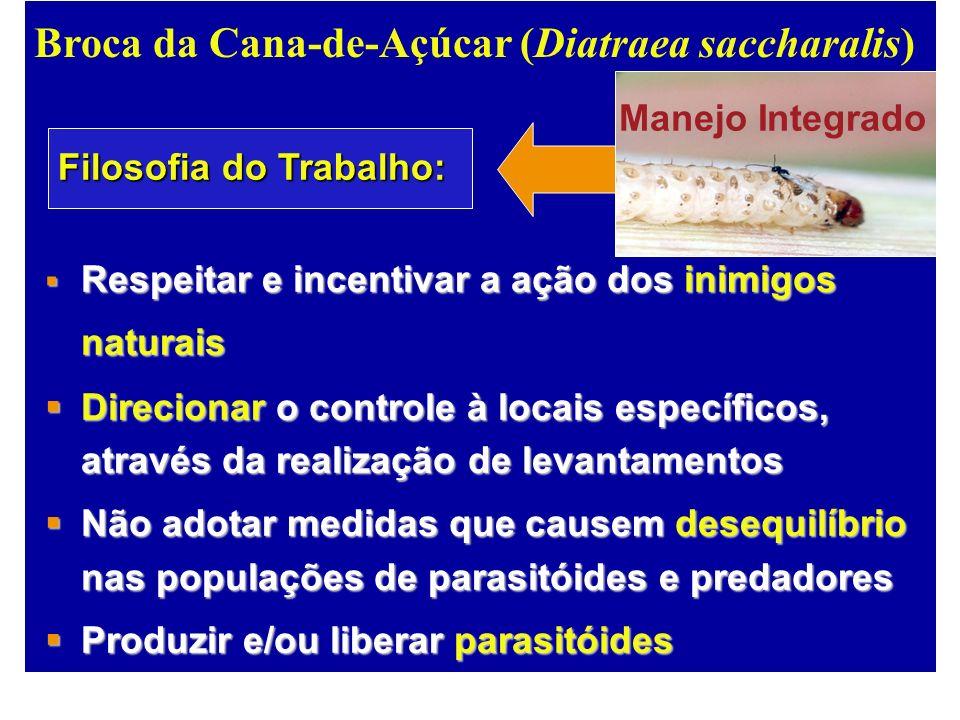 Broca da Cana-de-Açúcar (Diatraea saccharalis)
