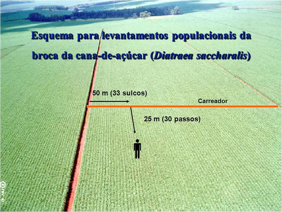 Esquema para levantamentos populacionais da broca da cana-de-açúcar (Diatraea saccharalis)