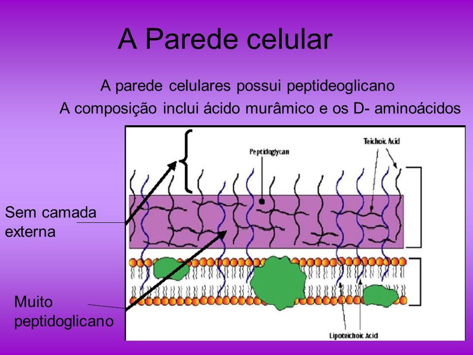 A Parede celular A parede celulares possui peptideoglicano