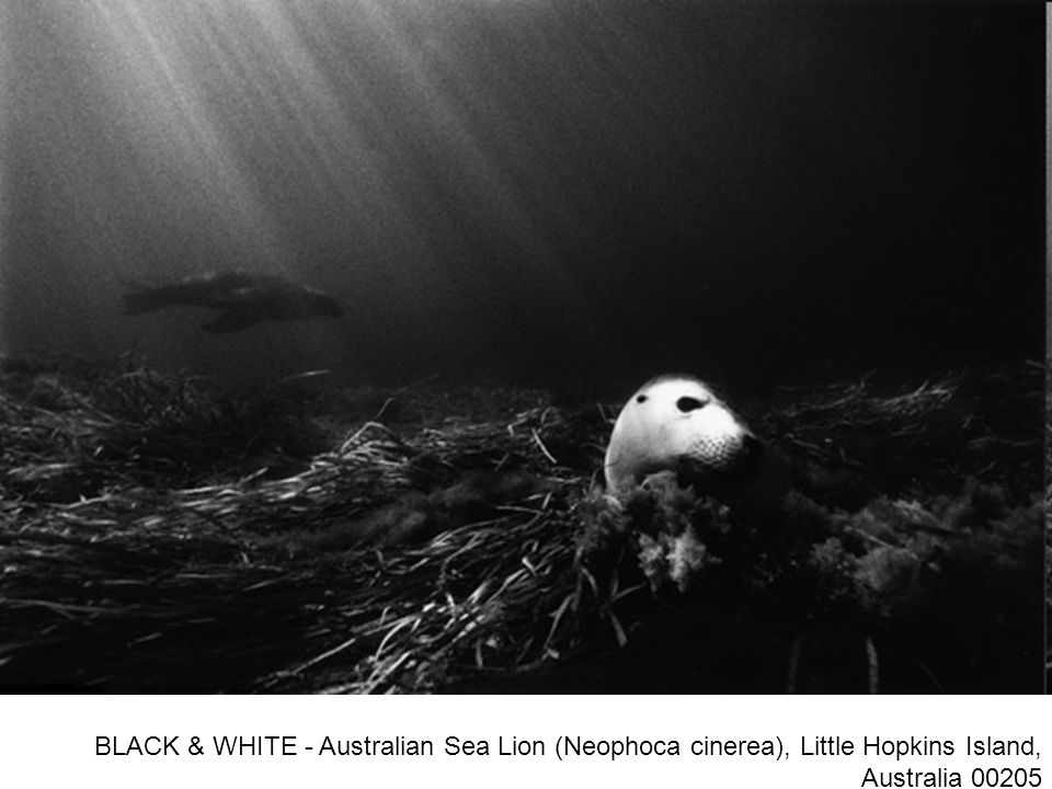 BLACK & WHITE - Australian Sea Lion (Neophoca cinerea), Little Hopkins Island, Australia 00205