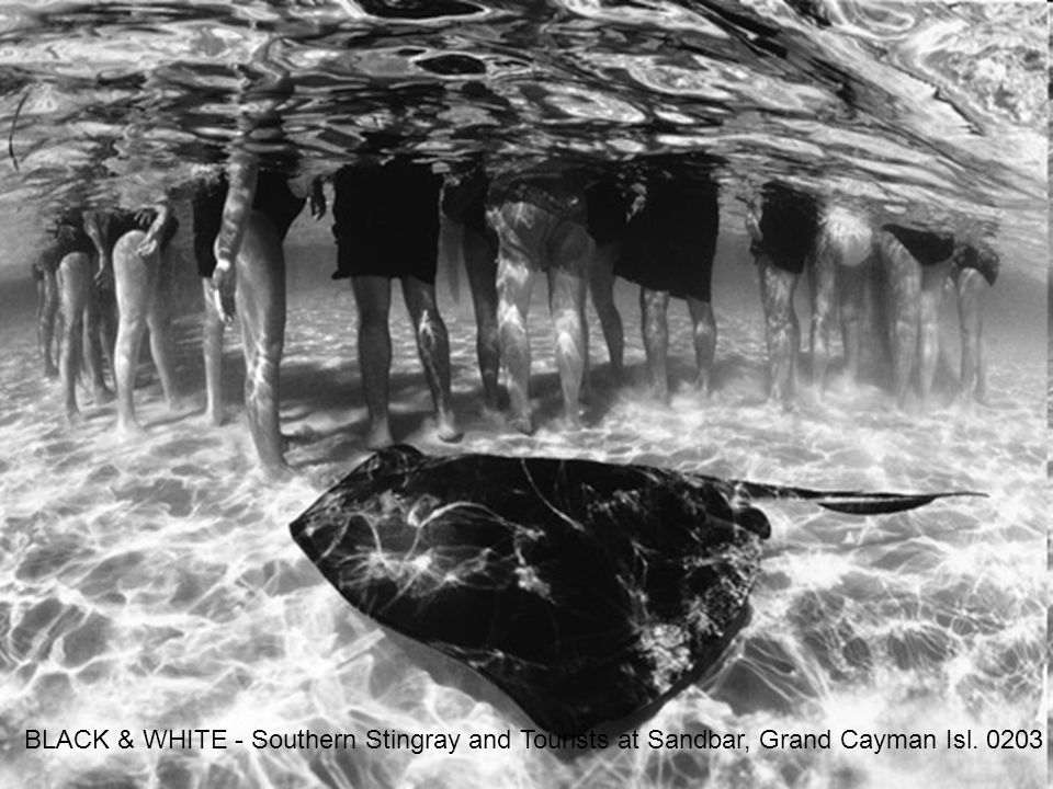 BLACK & WHITE - Southern Stingray and Tourists at Sandbar, Grand Cayman Isl. 0203