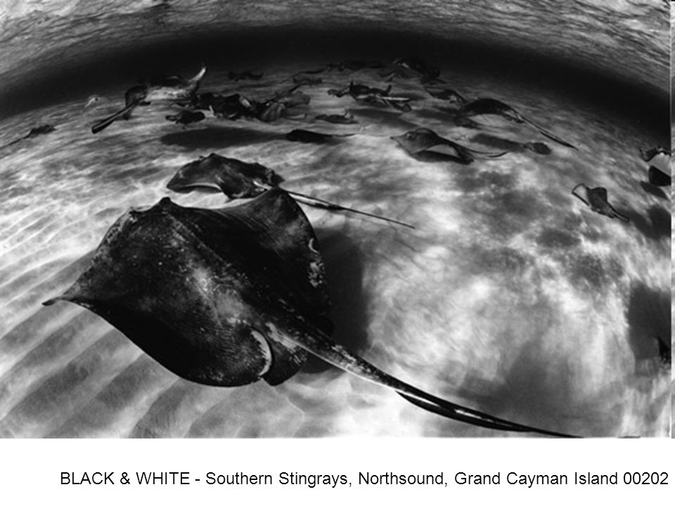 BLACK & WHITE - Southern Stingrays, Northsound, Grand Cayman Island 00202