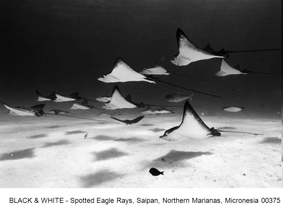 BLACK & WHITE - Spotted Eagle Rays, Saipan, Northern Marianas, Micronesia 00375