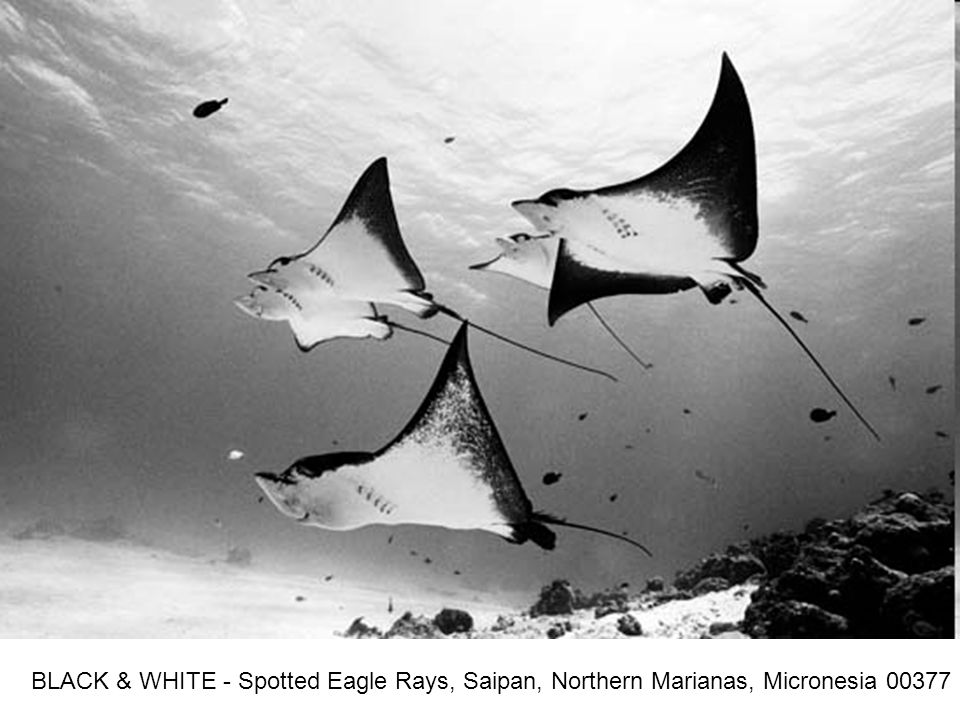BLACK & WHITE - Spotted Eagle Rays, Saipan, Northern Marianas, Micronesia 00377