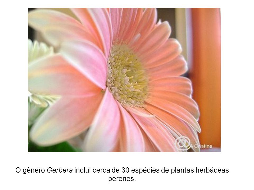 O gênero Gerbera inclui cerca de 30 espécies de plantas herbáceas perenes.