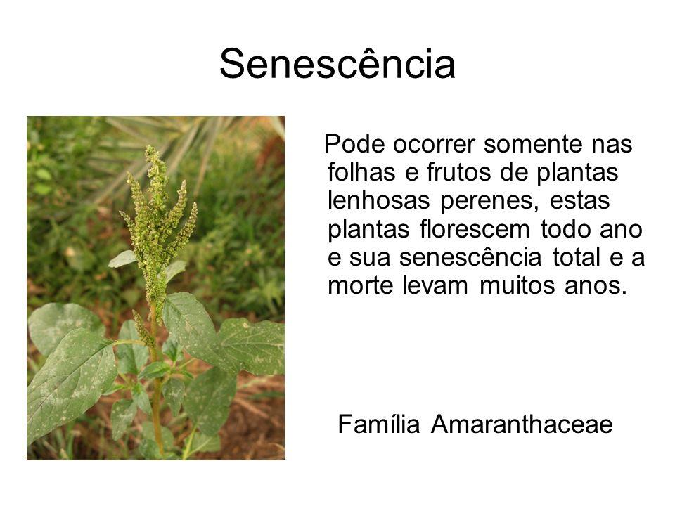 Família Amaranthaceae