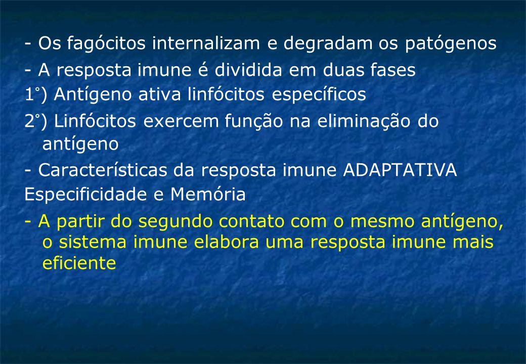 - Os fagócitos internalizam e degradam os patógenos