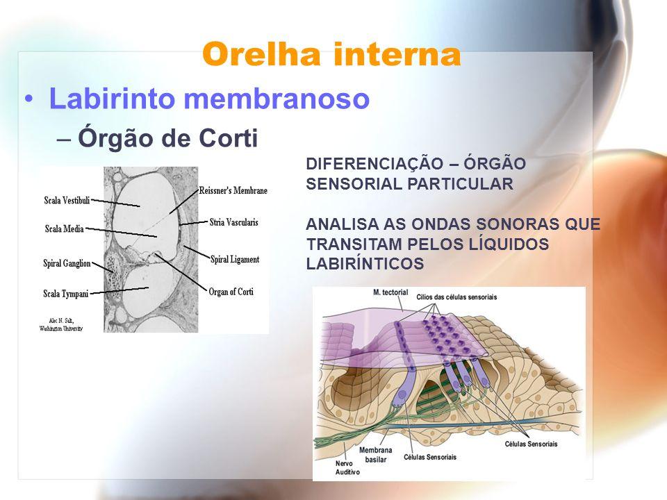 Orelha interna Labirinto membranoso Órgão de Corti
