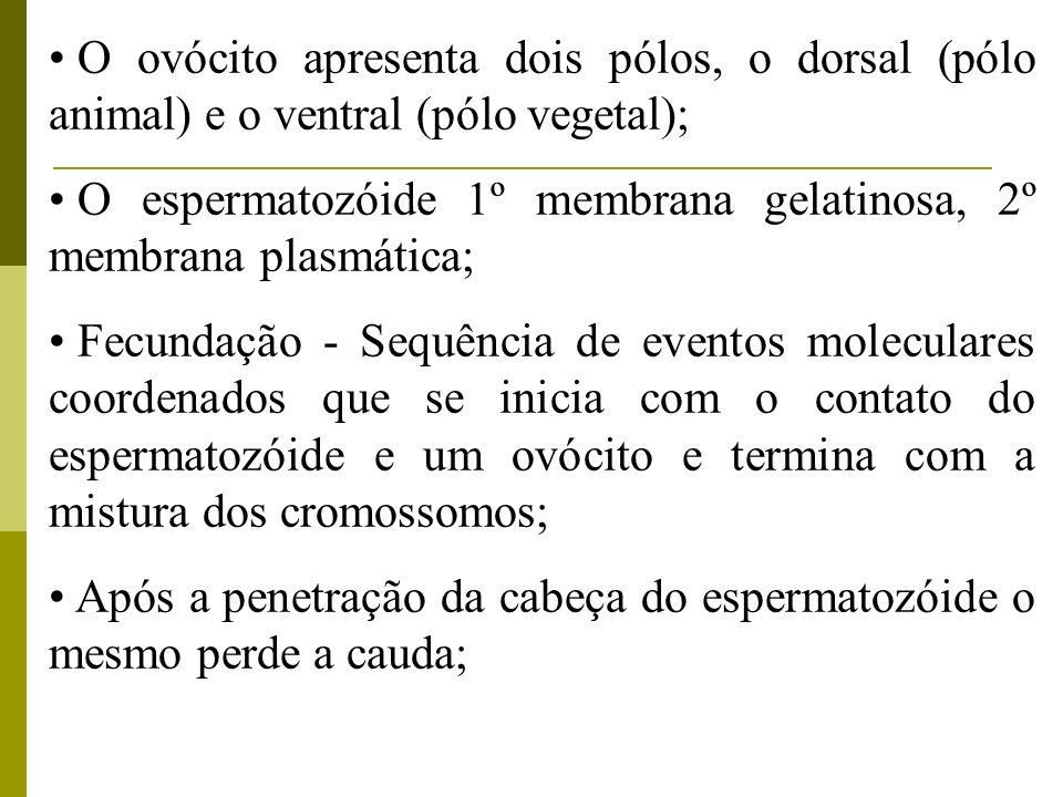 O ovócito apresenta dois pólos, o dorsal (pólo animal) e o ventral (pólo vegetal);