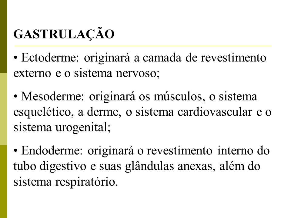 GASTRULAÇÃO Ectoderme: originará a camada de revestimento externo e o sistema nervoso;