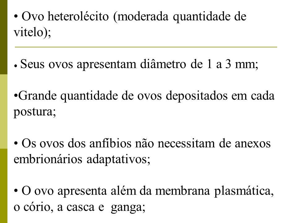 Ovo heterolécito (moderada quantidade de vitelo);