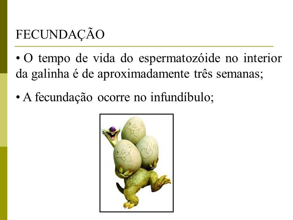 FECUNDAÇÃO O tempo de vida do espermatozóide no interior da galinha é de aproximadamente três semanas;
