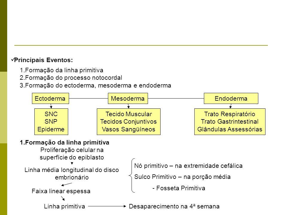 1.Formação da linha primitiva 2.Formação do processo notocordal