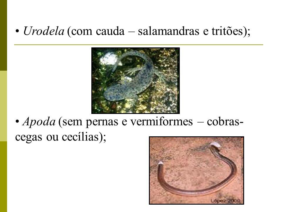 Urodela (com cauda – salamandras e tritões);