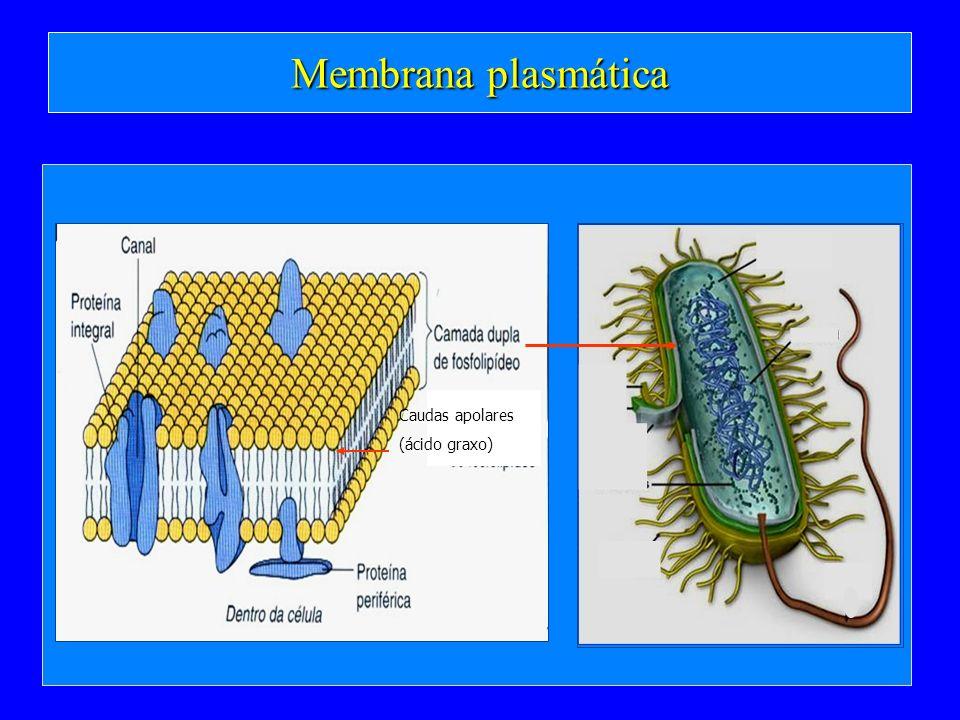 Membrana plasmática Caudas apolares (ácido graxo)