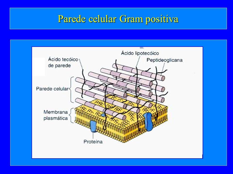 Parede celular Gram positiva