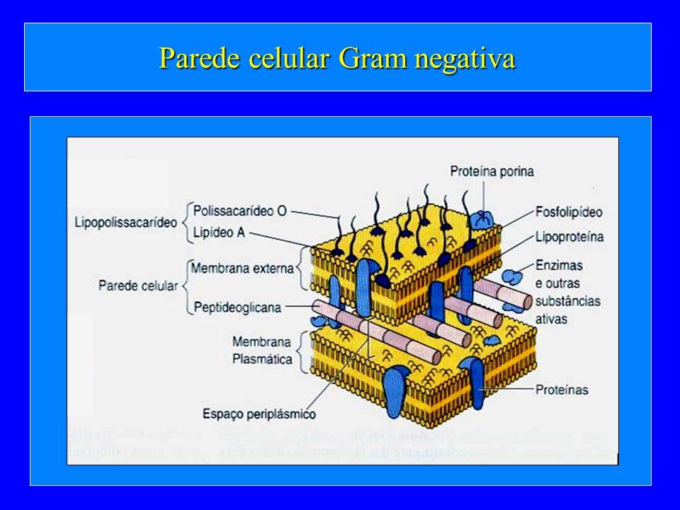 Parede celular Gram negativa