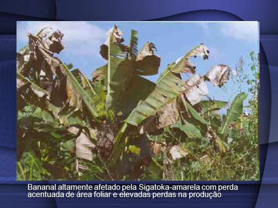 Bananal altamente afetado pela Sigatoka-amarela com perda acentuada de área foliar e elevadas perdas na produção