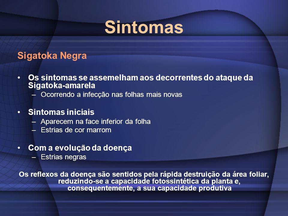 Sintomas Sigatoka Negra