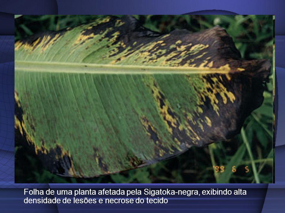 Folha de uma planta afetada pela Sigatoka-negra, exibindo alta densidade de lesões e necrose do tecido