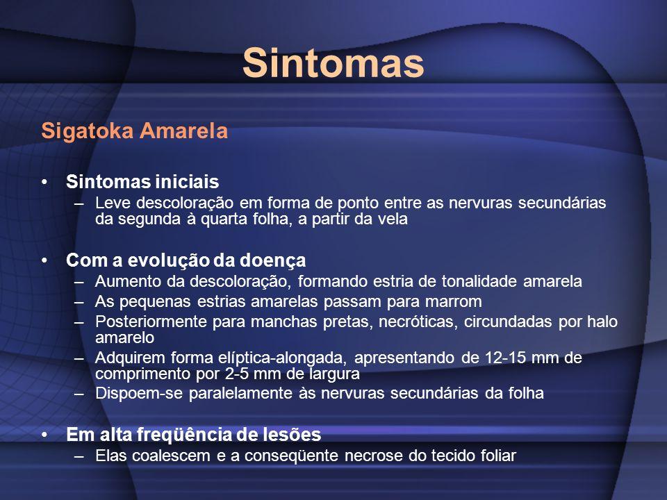 Sintomas Sigatoka Amarela Sintomas iniciais Com a evolução da doença