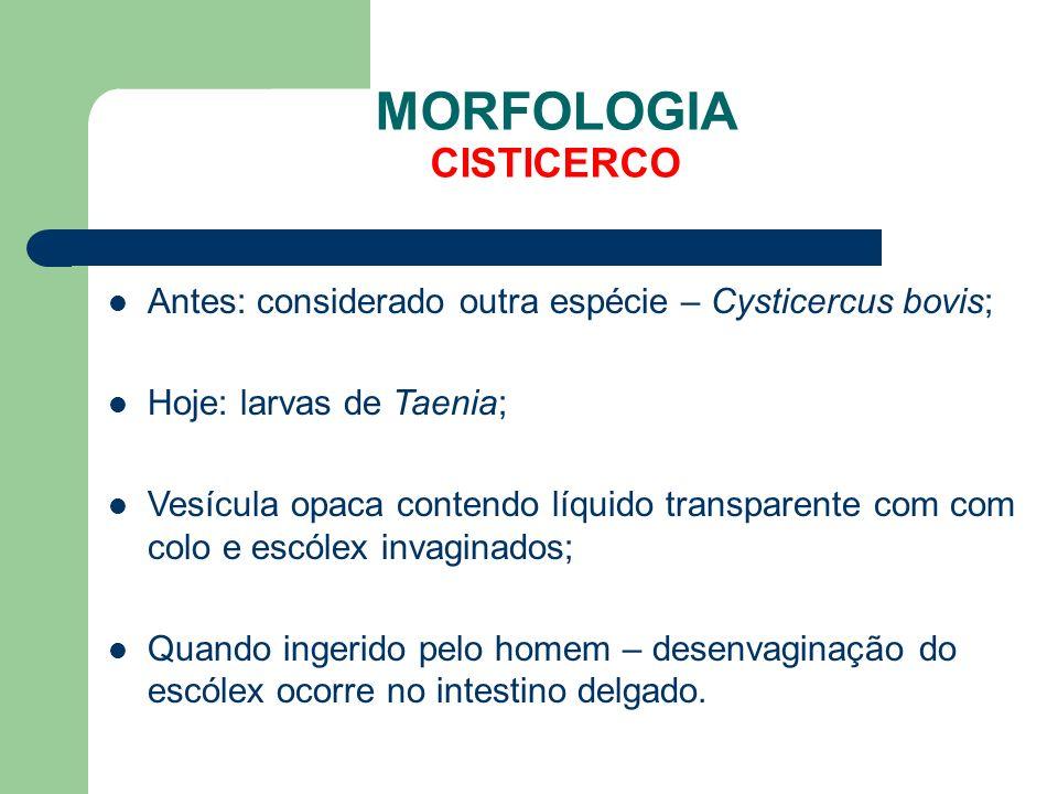MORFOLOGIA CISTICERCO