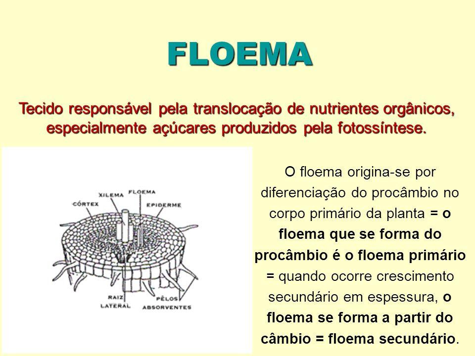 FLOEMA Tecido responsável pela translocação de nutrientes orgânicos, especialmente açúcares produzidos pela fotossíntese.