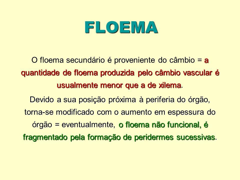 FLOEMA O floema secundário é proveniente do câmbio = a quantidade de floema produzida pelo câmbio vascular é usualmente menor que a de xilema.