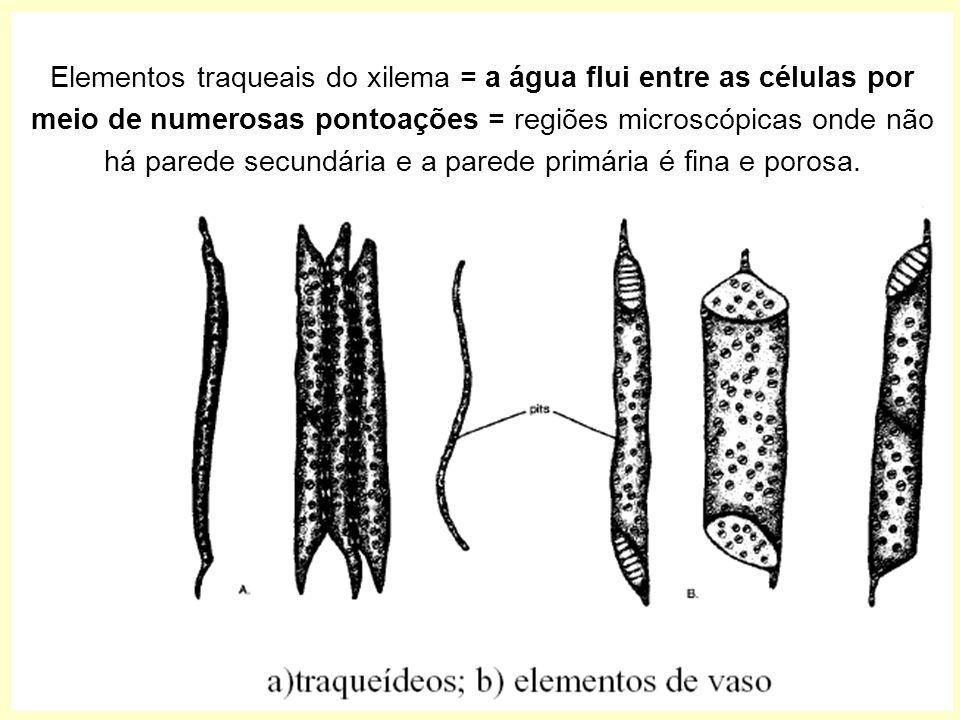 Elementos traqueais do xilema = a água flui entre as células por meio de numerosas pontoações = regiões microscópicas onde não há parede secundária e a parede primária é fina e porosa.
