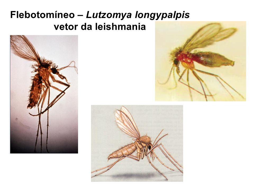 Flebotomíneo – Lutzomya longypalpis vetor da leishmania