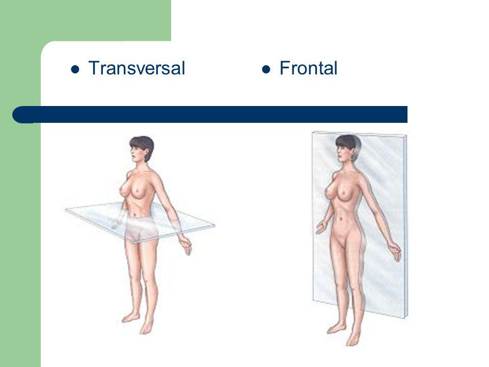 Transversal Frontal