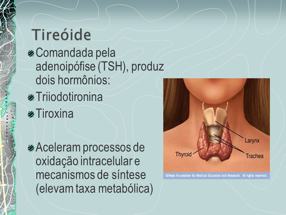 Comandada pela adenoipófise (TSH), produz dois hormônios:
