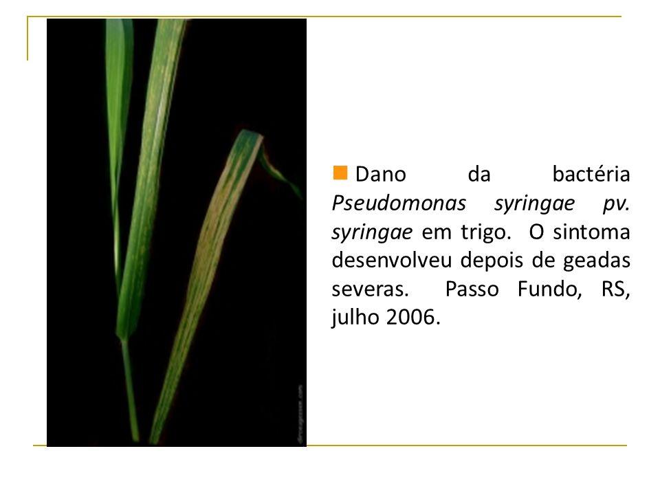 Dano da bactéria Pseudomonas syringae pv. syringae em trigo